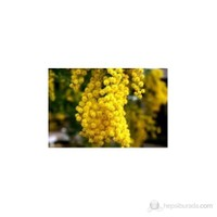 Plantistanbul Mimoza Ağacı