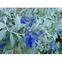 Plantistanbul Teucrium Fruticans-Zeytin Çalısı