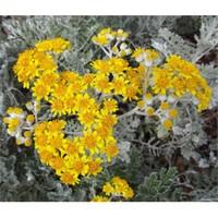 Plantistanbul Cineraria Maritima- Bahçe Külü