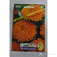 Sveryverts Nergis Çiçeği Tohumu