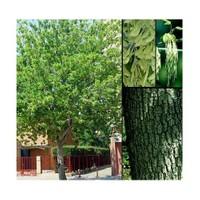 Plantistanbul Acer Negundo Dişbudak Yapraklı Akçaağaç, +100 Cm