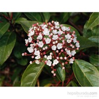 Plantistanbul Viburnum Tinus Lucidum Parlak Yapraklı Kartopu