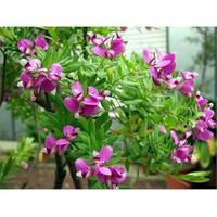 Plantistanbul Polygala Myrtifolia Poligala Çiçeği