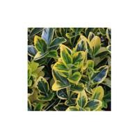 Plantistanbul Euonymus Fortunei Aurea Yayılıcı Taflan, Saksıda