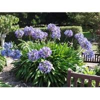 Plantistanbul Agapanthus Africanus Blue Sevgi Çiçeği, Saksıda