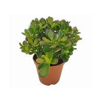 Plantistanbul Crassula Ovata (Geldbaum), Saksıda