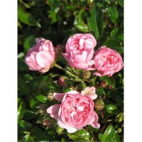 Plantistanbul Rosa The Fairy Minyatür Gül, Saksıda