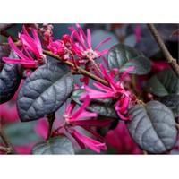 Plantistanbul Loropetalum Chinense Rubrum, Saksıda