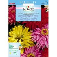 Miracle Tohum Karışık Krizantem Çiçekli Zinya Çiçeği Tohumu (150 Tohum)