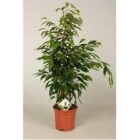 Plantistanbul Ficus Anastasia, 40-60 Cm, Saksıda