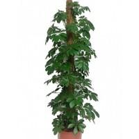 Plantistanbul Schefflera Actinopylla Şeflera, +130 Cm, +130 Cm, Saksıda