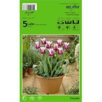 Plantistanbul Claudia Lale Soğanı Paketli