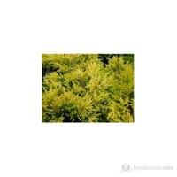 Plantistanbul Juniperus Horizontalis Lime Glow -Sarı Ardıç J20-40Cm