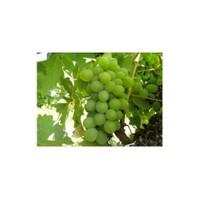 Plantistanbul Asma Üzüm Fidanı Early Seedless Tüplü