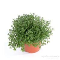 Plantistanbul Kekik Bitkisi