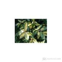 Plantistanbul Elaeagnus Ebbingei -Süs İğdesi