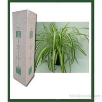 Plantistanbul Chlorophytum Comosum (Kordela) 20-40 Cm