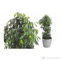 Plantistanbul Ficus Daniella