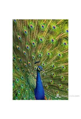 Castorland 1000 Parçalık Puzzle Peacock