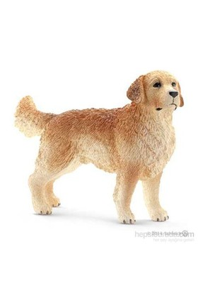 Golden Retriever Erkek