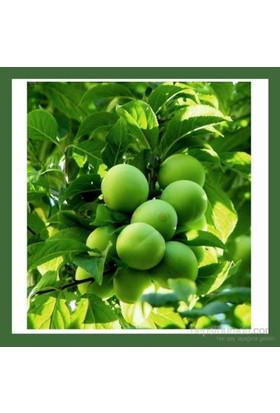 Plantistanbul Erik Fidanı, Can Eriği Papaz Aşılı, Saksıda, +3 Yaş
