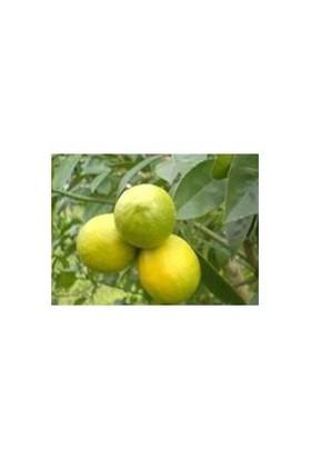 E-Fidancim Tüplü Mayer Limon Fidanı