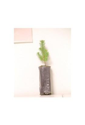 Plantistanbul Fıstık Nikah Çamı Fidanı 7-15Cm 10 Adet