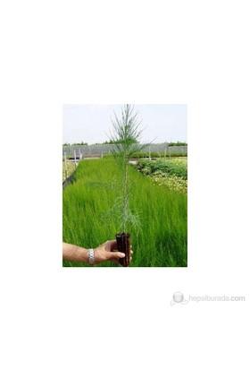 Plantistanbul Fıstık Nikah Çamı Fidanı 7-15Cm 100Ad