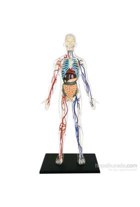 4D Master Şeffaf İnsan Vücudu 33 Cm (1:6)