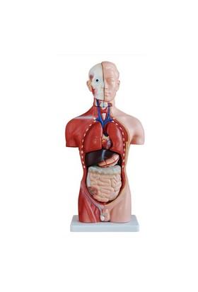 Anatomia Erkek Torso Modeli, 42 Cm 13 Parça