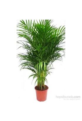 Plantistanbul Areca Lutescens (Chrysalidocarpus), +120 Cm, Saksıda