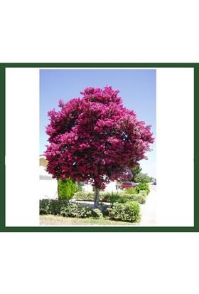 Plantistanbul Lagerstroemia İndica-Kırmızı (Oya Ağacı) Fidanı
