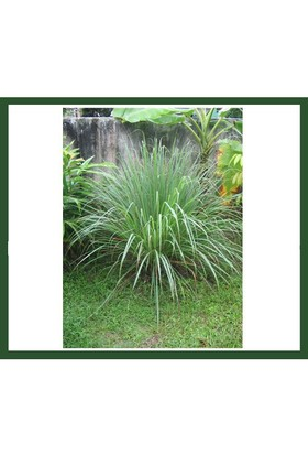 Plantistanbul Lemon Grass (Limon Otu) Fidanı