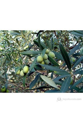 Plantistanbul Zeytin Fidanı, Domat Tüplü
