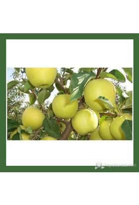 Plantistanbul Elma Fidanı, Golden Delicious Aşılı, Tüplü, +120Cm