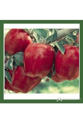 Plantistanbul Elma Fidanı, Starkrimson Aşılı, Tüplü, +120Cm