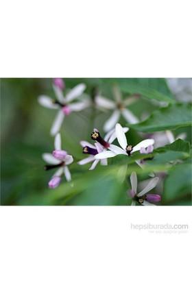 Plantistanbul Melia Azedarach Tesbih Ağacı, Saksıda