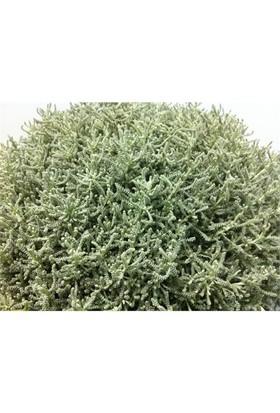 Plantistanbul Santolina Chamaecyparissus Lavantin, Saksıda