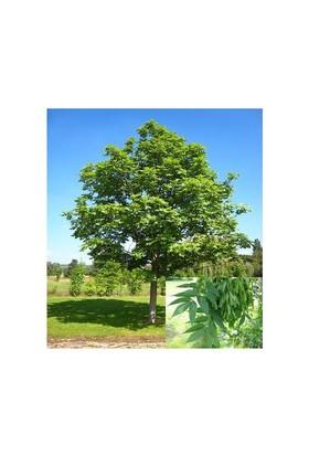 Plantistanbul Fraxinus Americana Amerikan Dişbudak Ağacı, Saksıda
