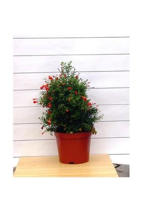 Plantistanbul Punica Granatum Süs Narı (Bodur Nar), Saksıda