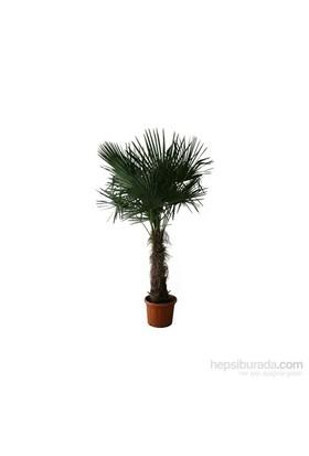 Plantistanbul Palmiye Ağacı 20-40 Cm