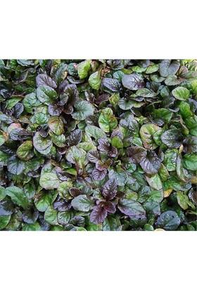 Plantistanbul Ajuga Reptans Atropurpurea Ajuka Otu, Mayasıl Otu, Saksıda