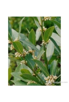 Plantistanbul Laurus Nobilis Defne 40-50Cm