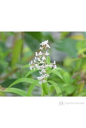 Plantistanbul Melisa Limon Otu Aloysia Triphylla 60Cm