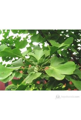 Plantistanbul Ginkgo Biloba Fidanı
