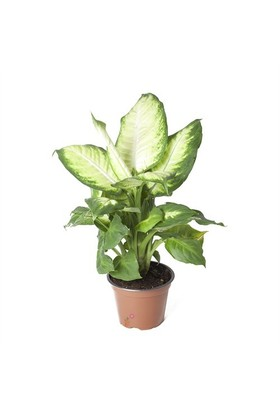 Plantistanbul Dieffenbahcia Camilla