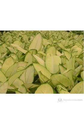 Plantistanbul Dieffenbachia Mariana