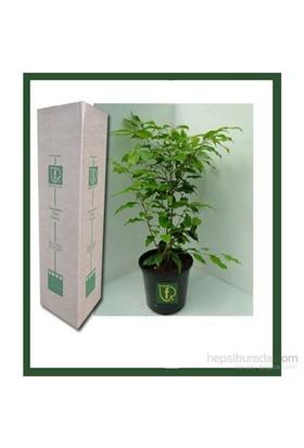 Plantistanbul Ficus Benjamina