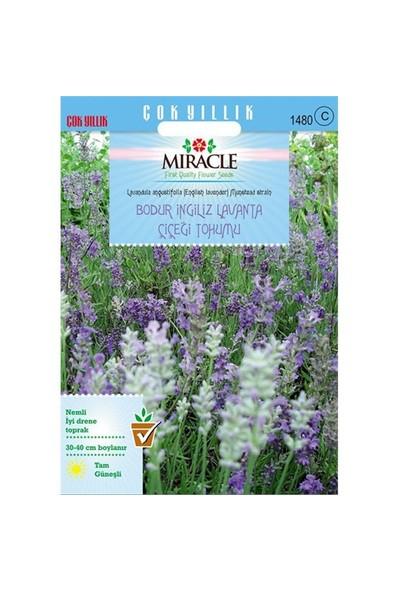 Miracle Tohum Munstead Strain Bodur İngiliz Lavanta Çiçeği Tohumu (95 Tohum)