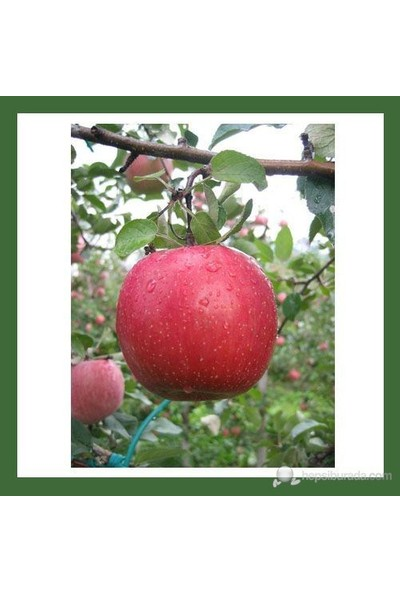 Plantistanbul Yarı Bodur Elma Fidanı, Fuji Kuki Aşılı, Açık Kök, +120Cm
